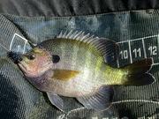Bluegill fly fishing 9.23.2019