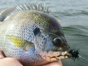 Bluegill Fly Fishing 9.25.2019