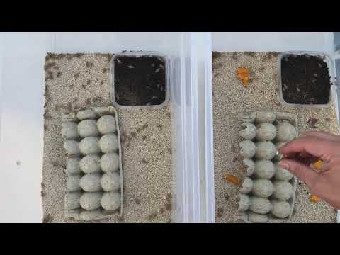 How To Breed & Raise Crickets - The Critter Depot