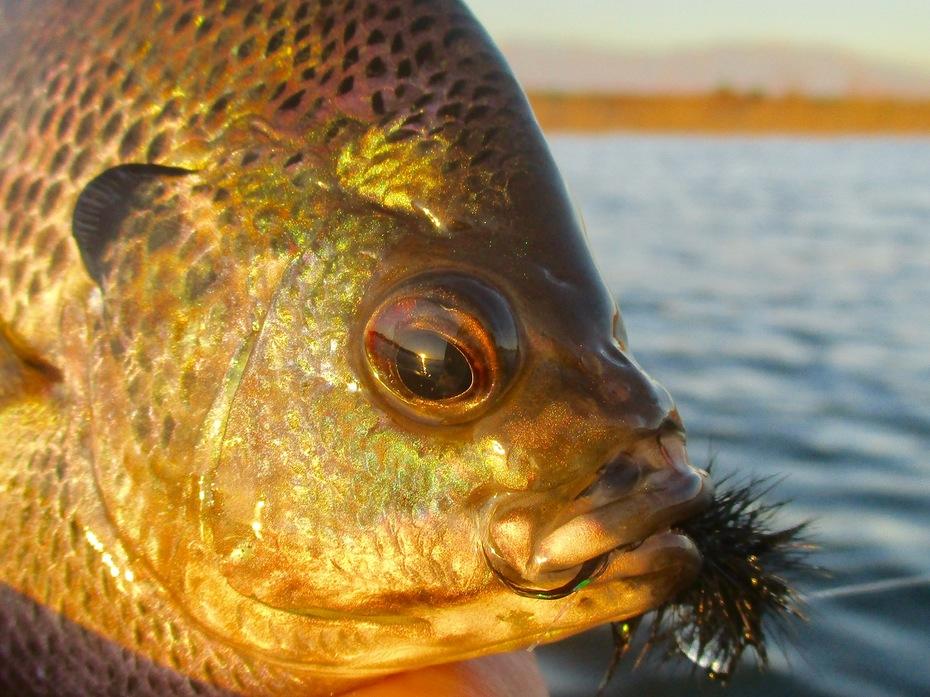 Bluegill fly fishing, Lake Perris 10.5.2019