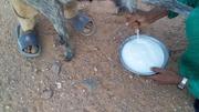 lait frais  dans le désert