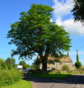 Sycamore tree in June