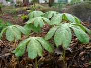 Mayapple umbrellas