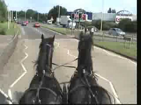 Friesian Pair (Samson and Hercules) Take Their First Trip to Town