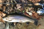 "15.25"" Rainbow Trout (11-19-19)"