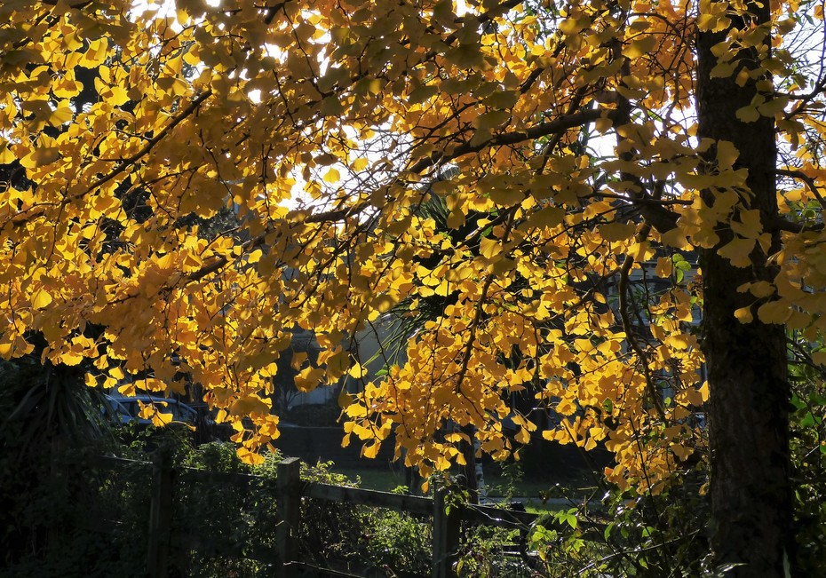 Glowing golden Ginkgo leaves are the last to turn - and fall, Nov 29th '19P1140761 - Copy