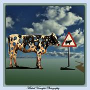 Διάβαση διάτρητων αγελάδων  στην Κρήτη