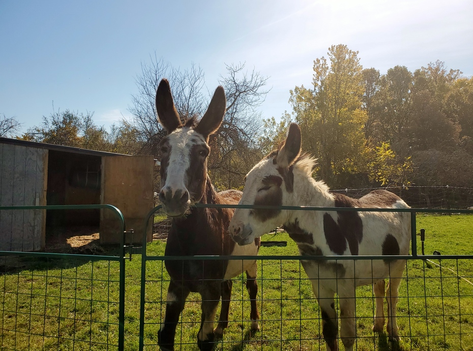 Donks provide guard services for sheep.