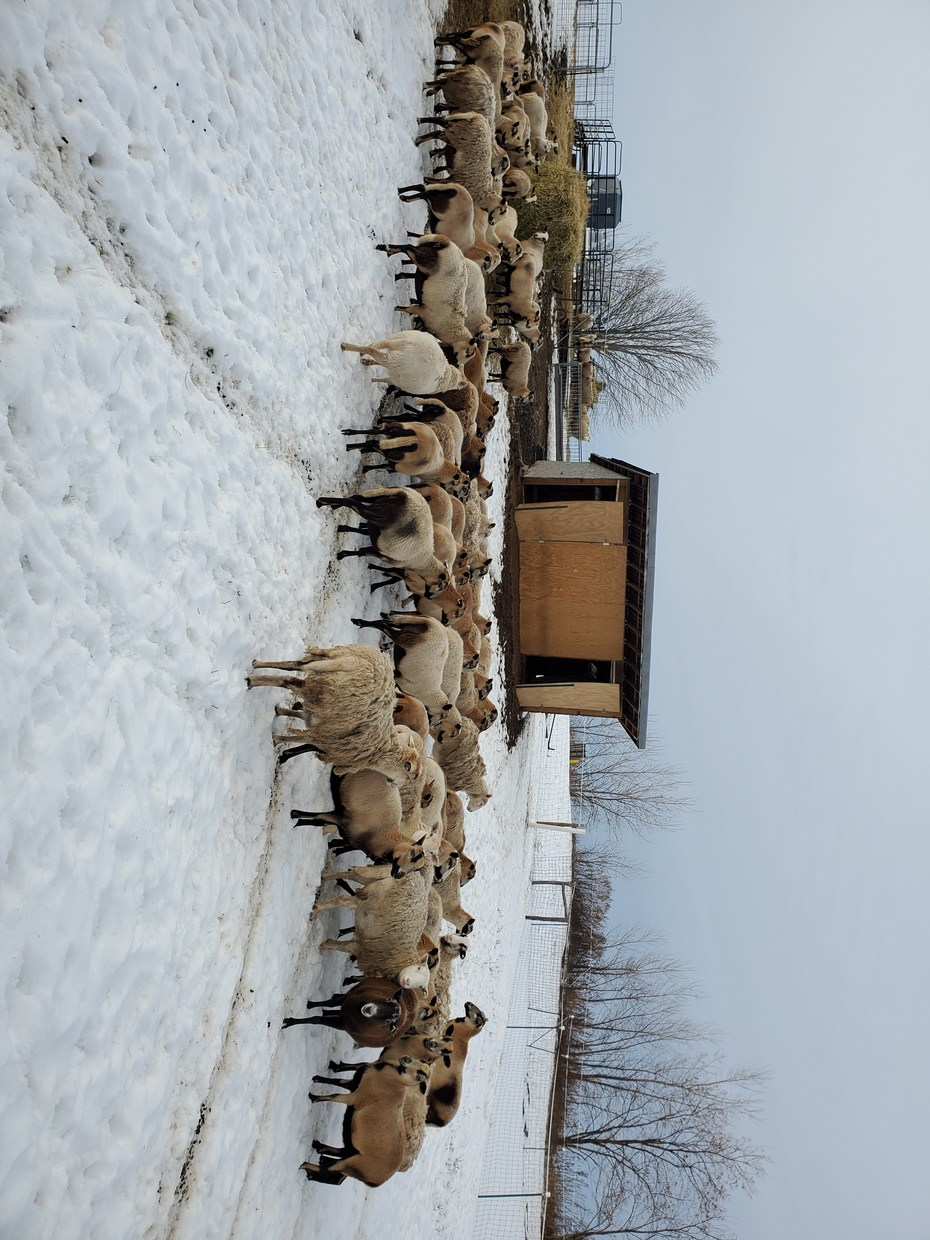 Ewes in winter drylot