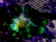 Fleur de nuit