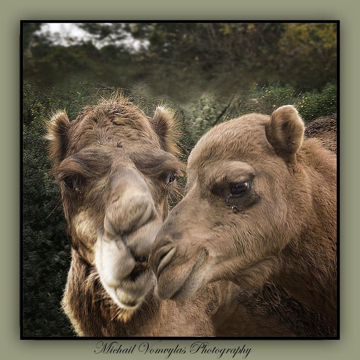 Καμήλες σε πευκοδάσος!