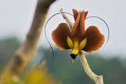 Les oiseaux de paradis