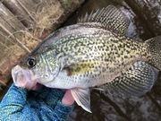 Blooming Doqwoods and Shallow Crappie