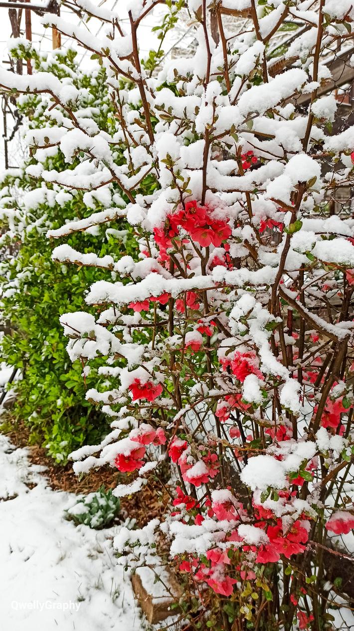მარტის შემოთავაზებული რიმეიქი - ყვავილზე თოვლი