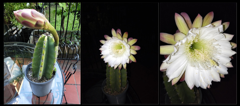 Peruvian apple cactus flowering 2020