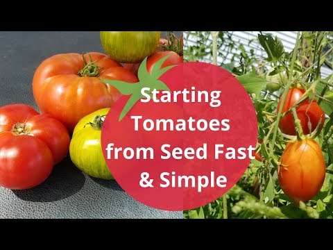 Starting Tomatoes from seed quick and easy