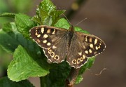 Newly emerged Speckled Wood butterfly by the pond, April 12th '20