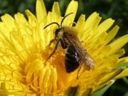 Possible Grey-patched Mining Bee Andrena nitida