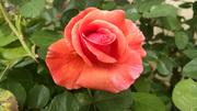086_edited orange rose