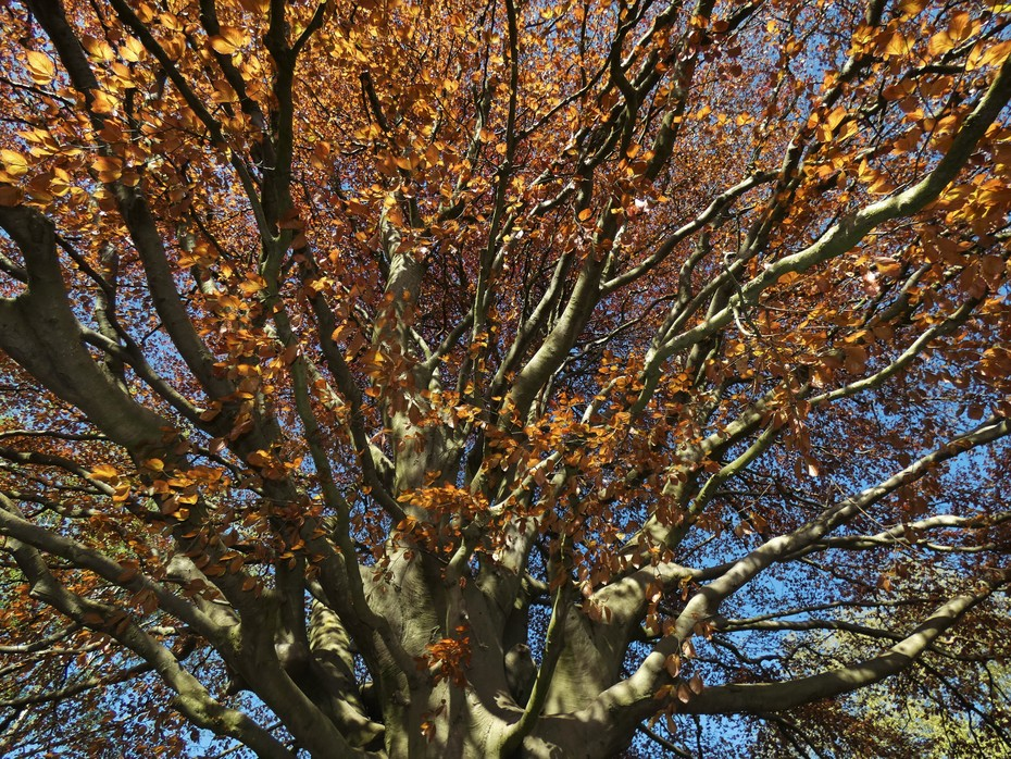 Copper beech just coming into leaf, April 21st '20