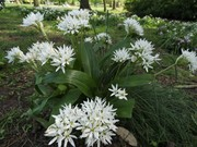 Ramsons - Wild Garlic, April 24th  '20