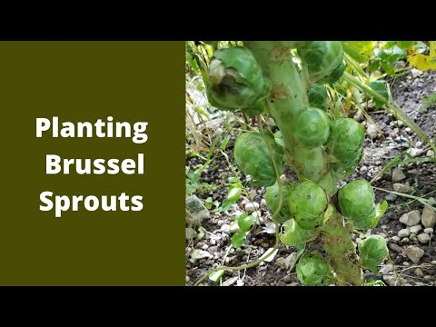How to plant Brussel sprouts