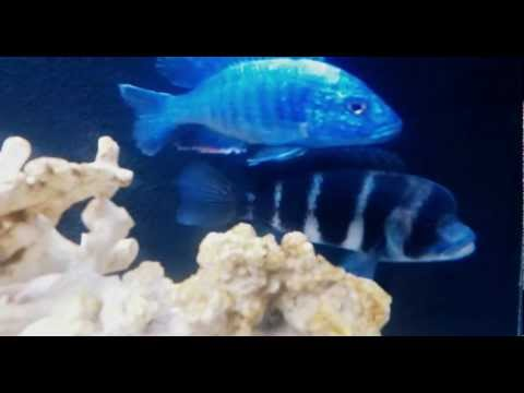 African Cichlids, Ciclideos africanos