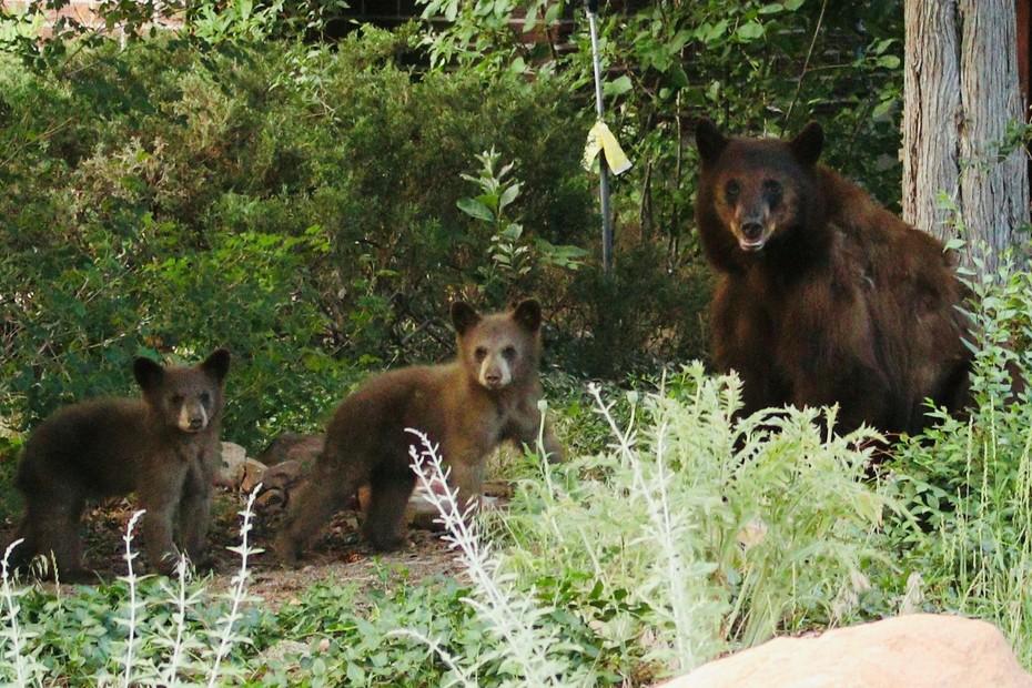 Bears on Lehigh 1