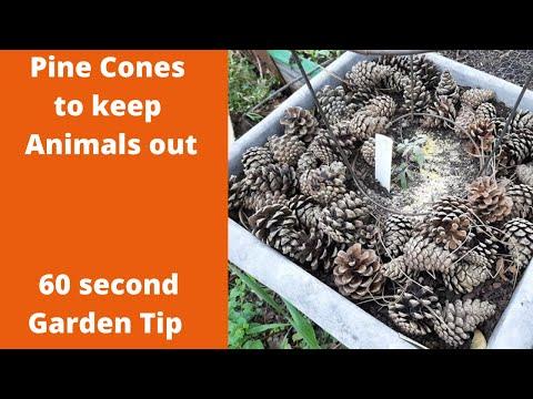 Pine Cones to keep animals away   60 second garden tip