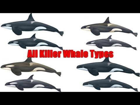 All Killer Whale / Orca - All Types