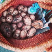 Potato harvest YCGJuly2020