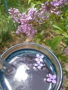 lilac memories