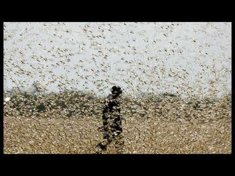 Not Good! Scientists Discover How To Weaponize and Control Locust Swarms with Single Chemical