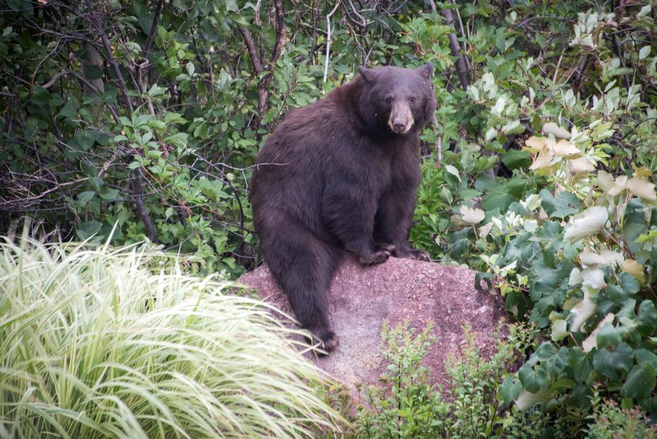 Bear in the backyard!