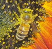 BIG Bee on Sunflower - Pollinator Extraordinaire (Up Close) - 3 of 3