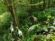 Goats turning woods to silvopasture