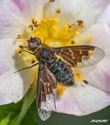 Μύγα Bombyliidae_3