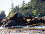 Sealions near Ucluelet