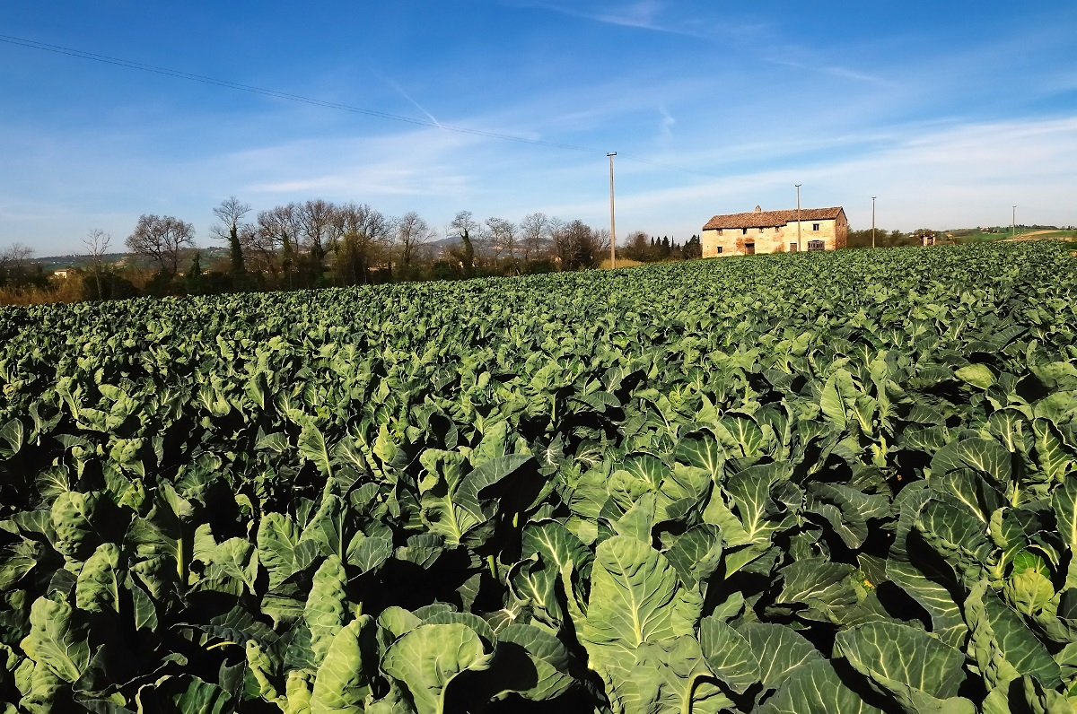 Robots to join UK cauliflower pickers after harvesting tech breakthrough