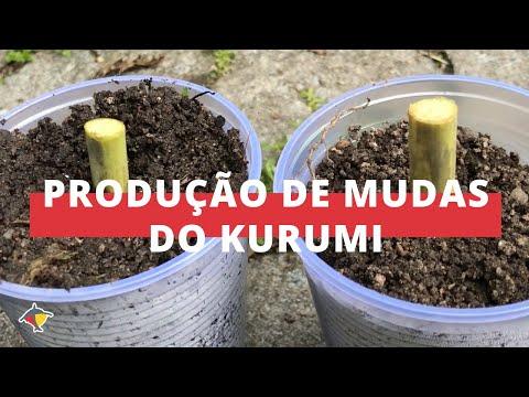 Dica Técnica: passo a passo para produzir mudas de Kuruimi I Programa Terra Sul