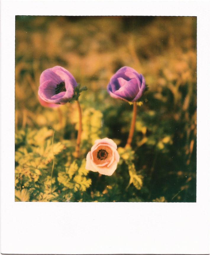 I fiori del vento