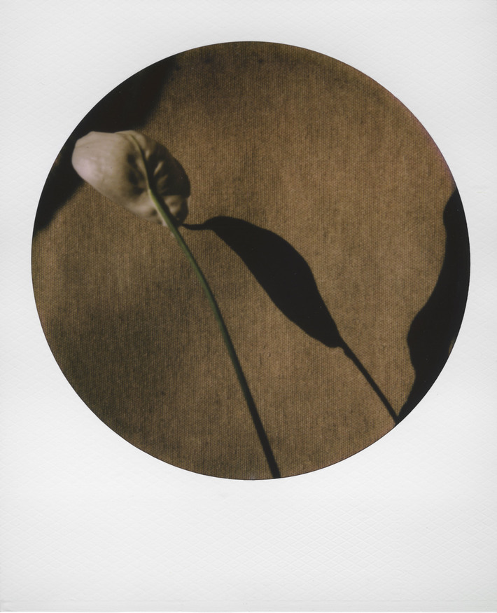 Spathiphyllum_04