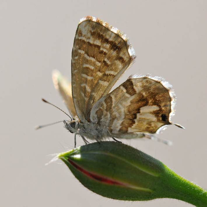 Cacyreus marshalli , Lycaenidae killer dei gerani